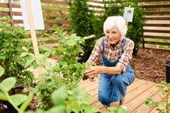 资深花匠在种植园 图库摄影