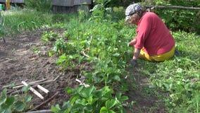 资深花匠祖母妇女除草草莓植物 股票录像