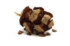 赛普里斯与种子的杉木锥体 免版税库存照片