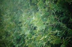 赛普里斯分支树篱 免版税图库摄影
