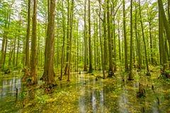 赛普里斯沼泽在春天 库存图片