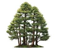 赛普里斯盆景树 免版税库存图片