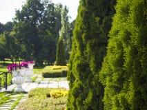 赛普里斯,与植物园,公园的杜松在莫斯科,俄罗斯 免版税库存图片