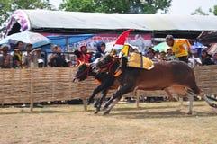 赛跑公牛的骑师在Madura公牛种族,印度尼西亚 库存图片