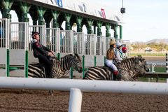 赛跑在菲尼斯,亚利桑那的斑马 免版税库存图片