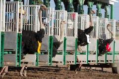 赛跑在菲尼斯,亚利桑那的驼鸟 免版税库存照片