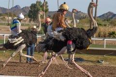赛跑在菲尼斯,亚利桑那的驼鸟 免版税图库摄影