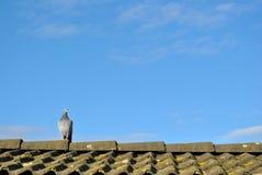赛跑屋顶的孤独的鸽子 免版税库存照片