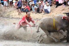 赛跑文化泰国的水牛城 图库摄影
