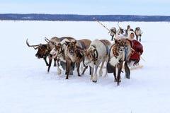 赛跑横跨寒带草原的Nenets驯鹿 图库摄影