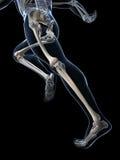 赛跑者解剖学 免版税库存照片