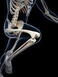赛跑者解剖学 库存例证