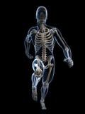 赛跑者解剖学 库存照片