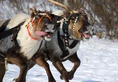 赛跑驯鹿 免版税图库摄影