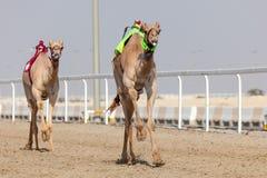 赛跑骆驼在卡塔尔 免版税图库摄影