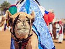 赛跑骆驼 图库摄影