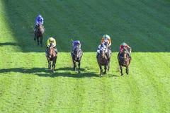 赛马在草皮 免版税库存照片