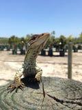 赛马蜥蜴 库存照片