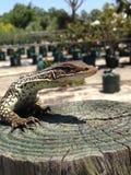 赛马蜥蜴 免版税库存照片