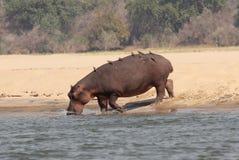 赞比亚:与鸟的一匹河马在后面走到更低的Zambes 库存照片