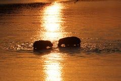赞比亚:两匹河马在Zambesi河互相遇见在日落 图库摄影
