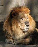 赞赏的狮子男查阅 免版税库存照片