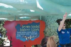 赠送者教关于布朗的访客-在海世界圣地亚哥加利福尼亚的被结合的竹鲨鱼 免版税图库摄影