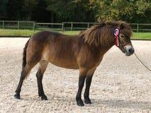 赢取的Exmoor小马 免版税库存照片