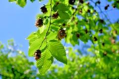赤杨树在有锥体种子的森林里 免版税库存照片