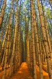 赤松树森林树丛  免版税库存照片
