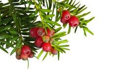 赤柏松树用在白色背景的红色果子 免版税库存照片