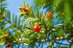 赤柏松树用红色果子 罗汗松baccata 免版税库存图片