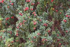 赤柏松生长在树的树莓果大量  免版税库存照片