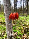 赤栎叶子 免版税库存图片