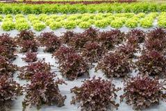 赤栎在莴苣种植园 免版税库存图片