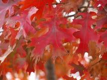 赤栎符合它的名字 库存图片