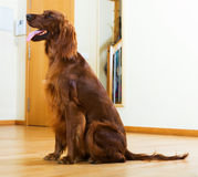 赤毛的塞特种猎狗坐木条地板 库存照片