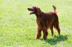 赤毛的塞特种猎狗 免版税库存照片