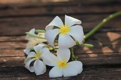 赤素馨花花或羽毛为健康开花和维生素C和温泉 免版税库存照片