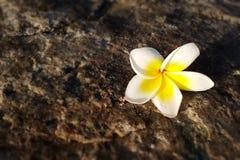 赤素馨花,在地板上的羽毛花有日落背景 免版税库存图片