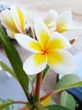 赤素馨花,自然美人 免版税库存照片