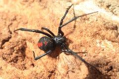 赤背蜘蛛寡妇蜘蛛 免版税库存图片