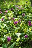"""赤莲在春天森林紫色的sibÄ """"ricum开花 免版税库存照片"""