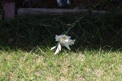 赤莲californicum 库存照片