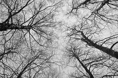 赤裸树作为背景 图库摄影