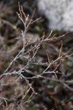 赤裸树分支  图库摄影