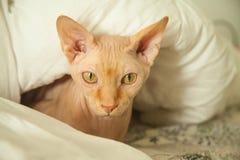 赤裸皮肤猫 免版税库存图片