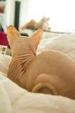 赤裸皮肤猫 库存照片