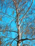 赤裸秋季桦树彩色照相  库存照片