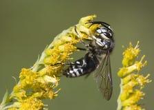 赤裸裸的大黄蜂 免版税库存照片